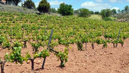 Vineyard in summer.